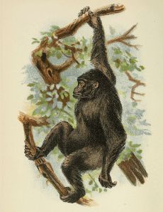 Handbook_to_the_Primates_Plate_40